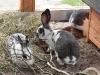 kaninchen-07