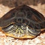 Gelbwangenschmuckschildkröte Biggy